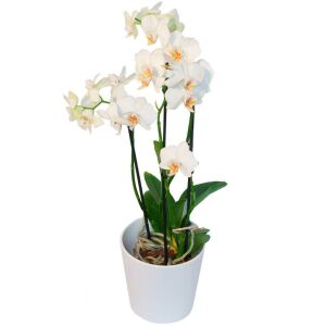 Phalaenopsis with decoration pot